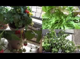 gem se pflanzen balkon mein gemüse balkon gemüse kräuter usw selbst pflanzen