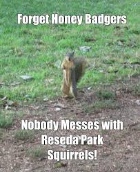 Honey Badger Memes - forget honey badgers nobody messes with reseda park squirrels