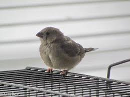 society finches goldbird variations