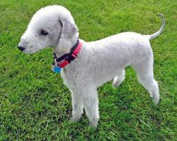 feeding a bedlington terrier bedlington terrier pictures breeders rescue temperament