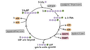 Where Do The Light Independent Reactions Occur The Calvin Cycle Article Photosynthesis Khan Academy