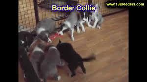 billings mt craigslist border collie puppies for sale in billings montana mt