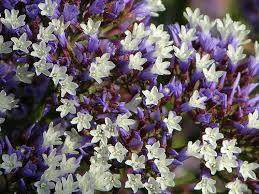 statice flowers statice flowers pictures statice flowers pictures purple statice