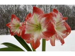 Amaryllis Flowers Amaryllis Flowers Beautiful Pictures Romance Youtube