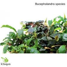 Aquascape Aquarium Plants Bucephalandra Species Live Aquarium Plants Terrarium Tropical