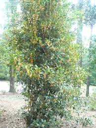 Fragrant Olive Plant Plantfiles Pictures Sweet Olive Fragrant Tea Olive U0027aurantiacus