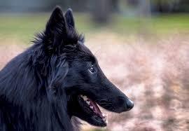 belgian sheepdog types free photo belgian sheepdog dog black free image on pixabay