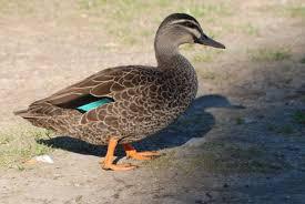 grey duck new zealand birds online