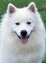 american eskimo dog apartment american eskimo breed information