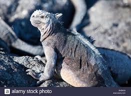 iguana island animal archipelago archipelo ecuador fernandina galapagos