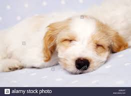 bichon frise x jack russell sleepy bichon frise cross puppy laid on a baby blue spotted stock
