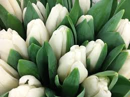 white tulips tulip white tulips free photo on pixabay