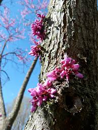 the redbud tree u2013 helena sorensen