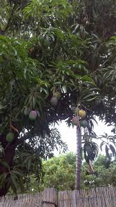 mango tree in my backyard your favorite things about maui