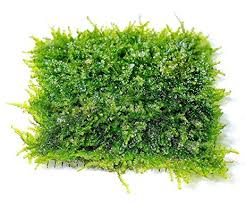 Aquascape Moss Amazon Com Mini Christmas Moss Mesh Pad Vesicularia Sp Live