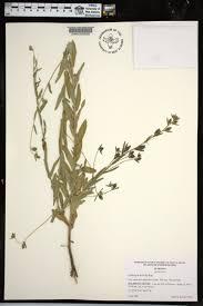 plants native to alabama ludwigia hirtella species page apa alabama plant atlas