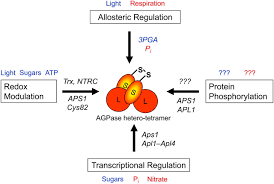 Light Independent Reactions Definition Regulation Of Starch Biosynthesis In Response To A Fluctuating