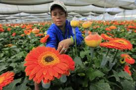 canada flowers colombia canada the flowers of free trade panamericanworld