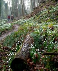 plants native to scotland seeing snowdrops u2013 the frustrated gardener