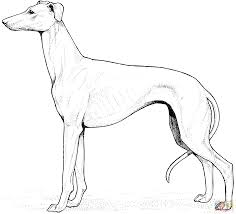 whippet coloring page free printable coloring pages