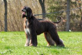 does an afghan hound shed afghan hound dog breed information buying advice photos and