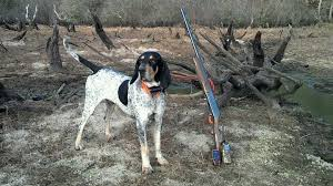 bluetick coonhound in florida cover jpg