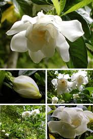 266 best gardenia jasmin tuberose images on pinterest white