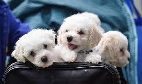bichon frise 20 pounds dog lovers unite at paws to the park walk the royal gazette