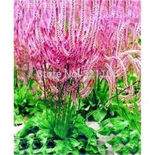 flower plant picture more detailed picture about 100 qingren cao