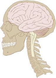 Male External Anatomy Human Brain Wikipedia