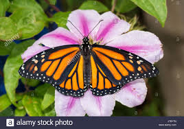 beautiful monarch butterfly on a pink clematis flower top view