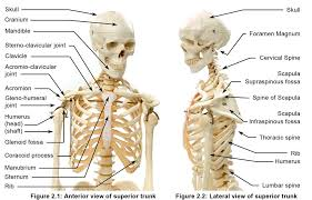 Human Anatomy And Physiology Courses Online Anatomy And Physiology Of Yoga Online Course Yoga Synergy