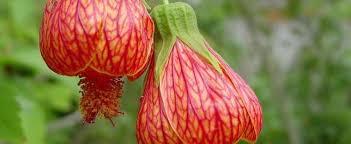 lantern flower abutilon flowering maple abutilon magic lantern