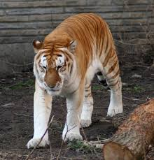 golden tiger wikipedia
