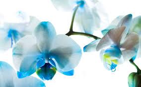blue orchid flower blue orchid flower wallpaper hd desktop background