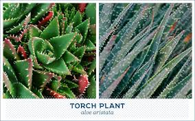 do aloe plants need sunlight 20 popular types of succulents ftd com