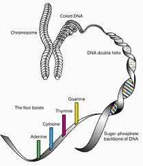 dna mapping mapping the human genome mapping the human genome howstuffworks