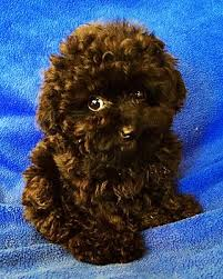 Seeking Teacup Encino Ca Poodle Or Tea Cup Meet Lennon Teacup Puppy A