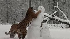 Tigres brincam com bonecos de neve em zoo - BBC Brasil - Vídeos ...