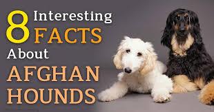 afghan hound lifespan afghan hound one of the quirkiest dog breeds you u0027ll ever meet
