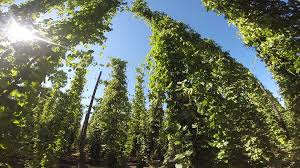 founders brewing co hop harvest 2014 youtube
