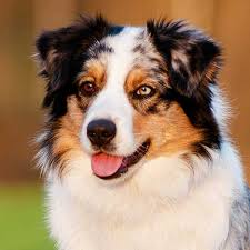 australian shepherd with cats halo for dogs halo purely for pets