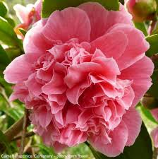 camellia flowers camellia inflorescence types gardening tips and advice oak