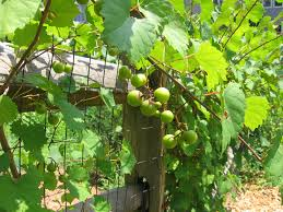 native american healing plants super antioxidants found in local muscadines holli richey