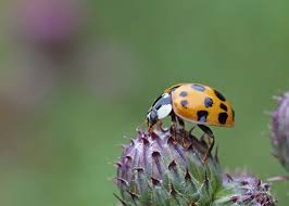 How To Find Ladybugs In Your Backyard Good And Bad Ladybugs How To Tell The Difference