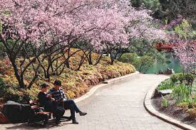 sydney cherry blossom festival attractions in sydney