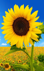 foto wallpaper bunga matahari sunflower live wallpaper free download of android version m