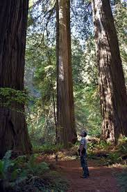 to find redwood grove no longer so elusive and trees are