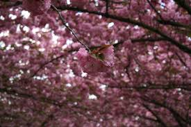Japanese Cherry Blossom Tree by Free Images Landscape Nature Branch Leaf Flower Bloom Food