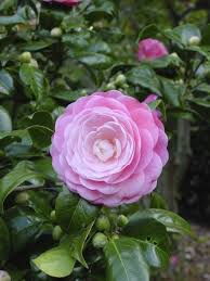 camellia flowers camellia planting and care how to care for a camellia plant